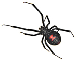 Atlanta Black Widow Removal