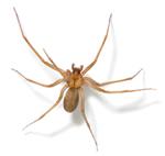 Atlanta Brown Recluse Spider Removal