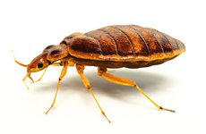 Atlanta Bedbugs Exterminators